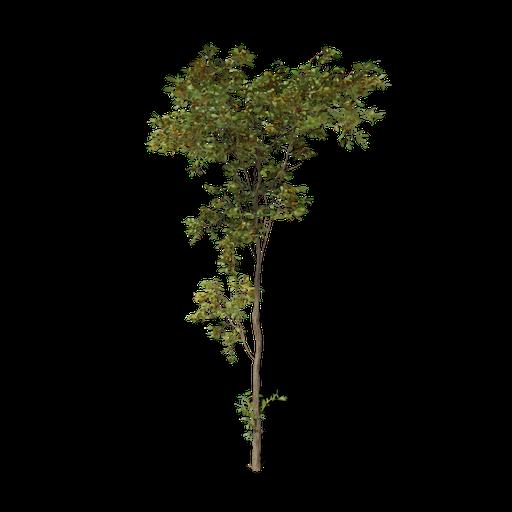 Thumbnail: Combretum molle tree v3