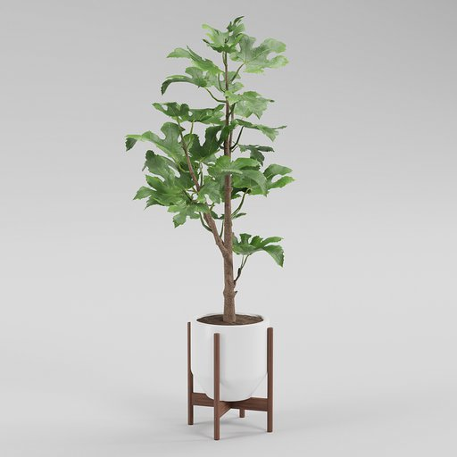 Thumbnail: Fig plant