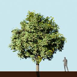 Thumbnail: Ahorn tree midsize
