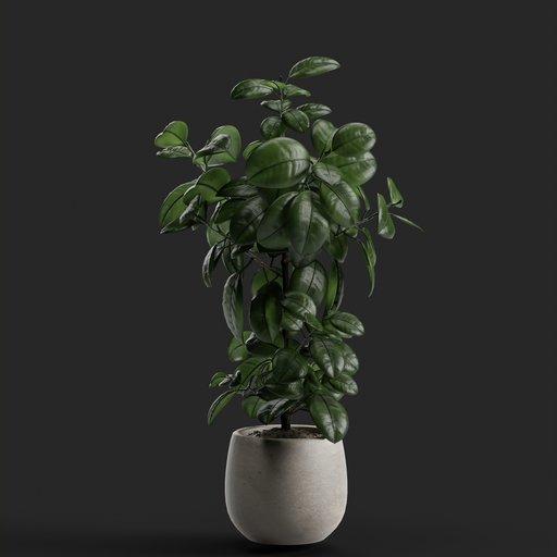 Thumbnail: Kala plant