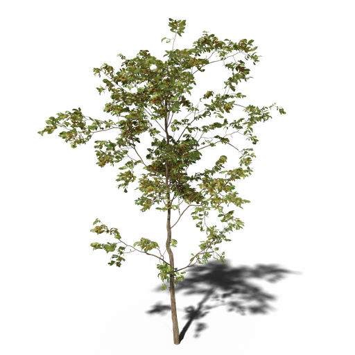 Thumbnail: Combretum molle tree v2