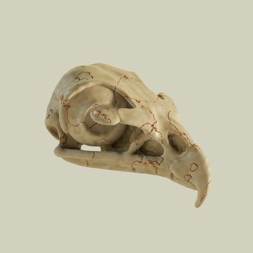 Golden eagle skull