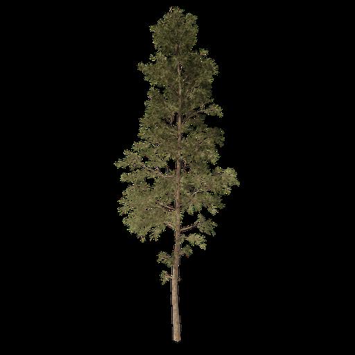 Thumbnail: Pine tree v3