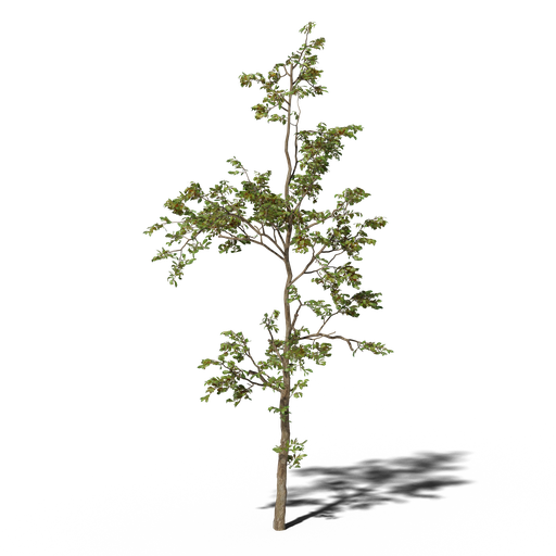 Thumbnail: Combretum molle tree v1