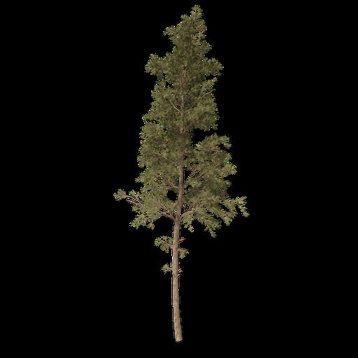 Thumbnail: Pine tree v1