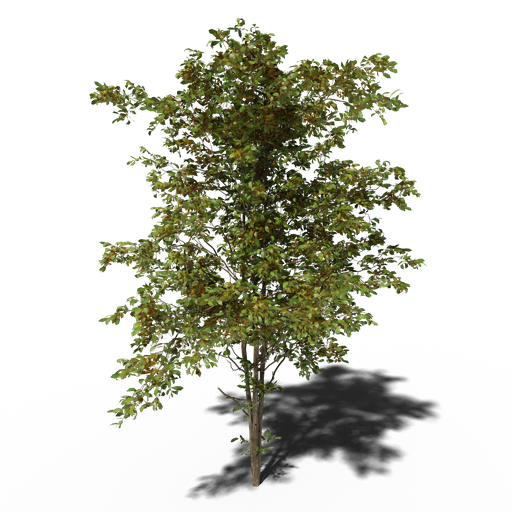 Thumbnail: Combretum molle tree v4