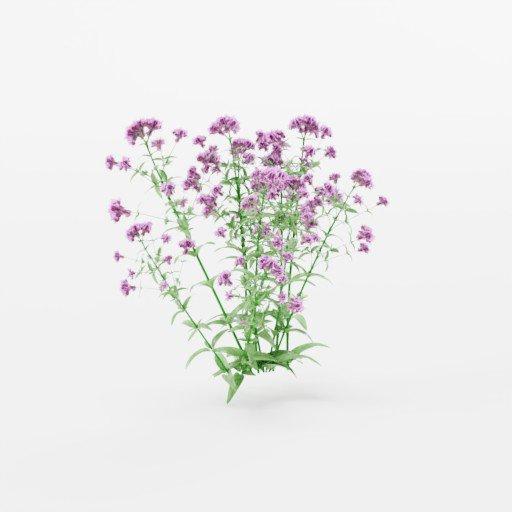 Thumbnail: Flowering Oregano