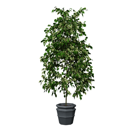 Thumbnail: Plant - Small tree - Little pot