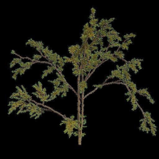 Thumbnail: Combretum molle tree