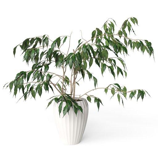 Thumbnail: Ficus